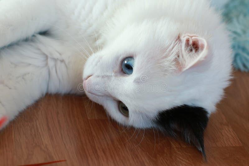 Zamyka up piękny dziwny przyglądający się kot obrazy royalty free