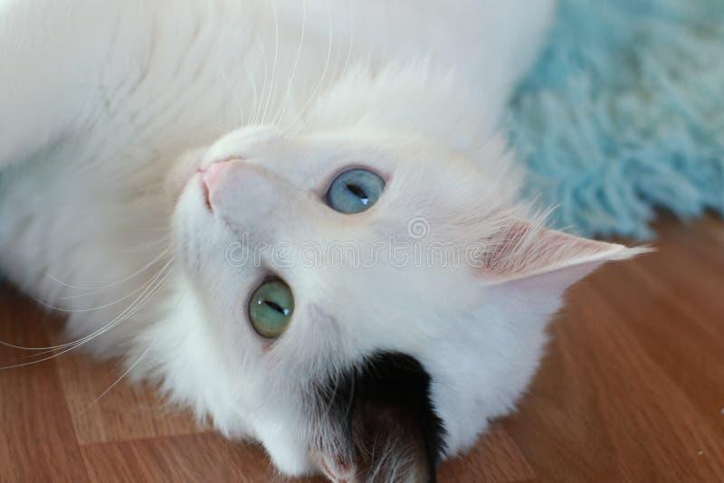 Zamyka up piękny dziwny przyglądający się kot fotografia stock