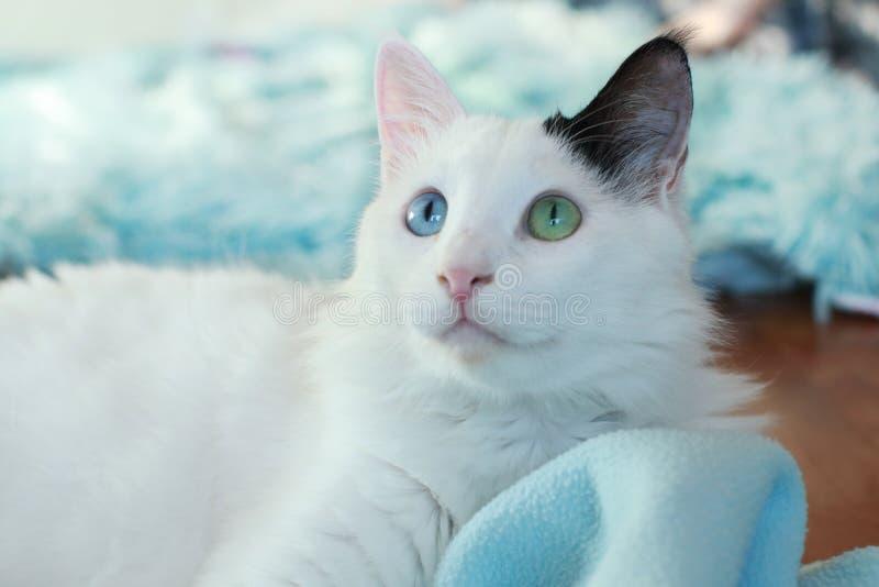 Zamyka up piękny dziwny przyglądający się kot zdjęcie stock