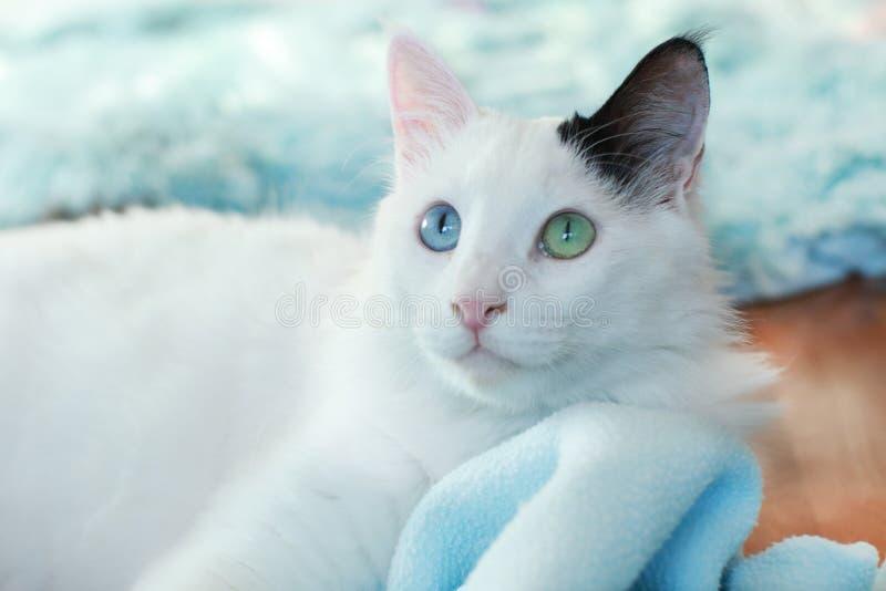 Zamyka up piękny dziwny przyglądający się kot zdjęcie royalty free