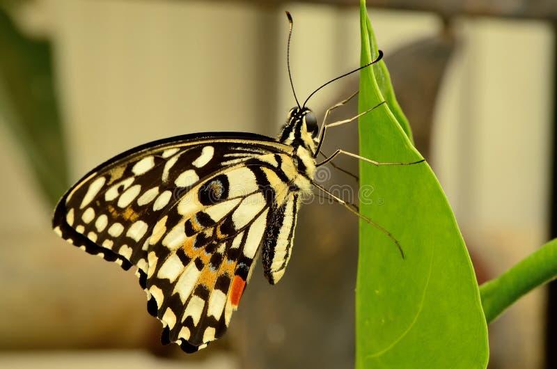Zamyka up piękny kolor żółty czarny motyl i obrazy stock