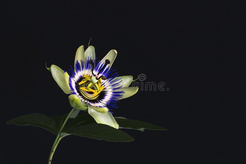 Zamyka up piękny kolorowy szczegółowy passionflower z liściem, odosobniony przeciw czarnemu ciemnemu tłu zdjęcia stock