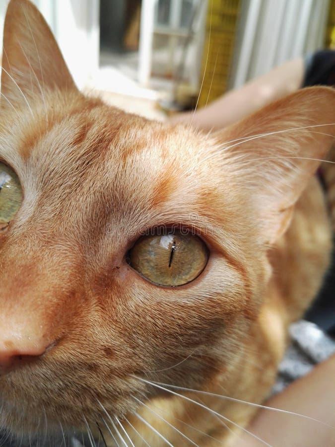 Zamyka up pomarańczowy kot z lampasami i zielonymi oczami obrazy stock