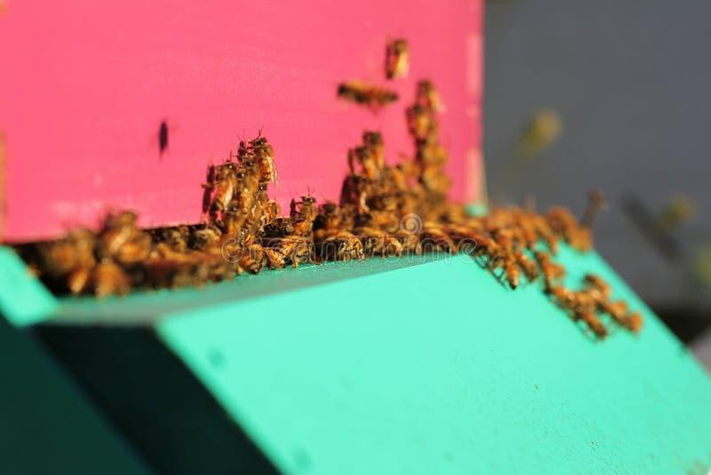 Zamyka up pszczoła rój w ranku zdjęcie royalty free