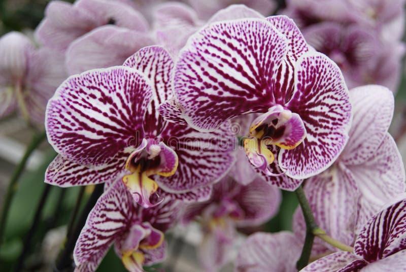 Zamyka up purpurowe orchidee zdjęcie stock