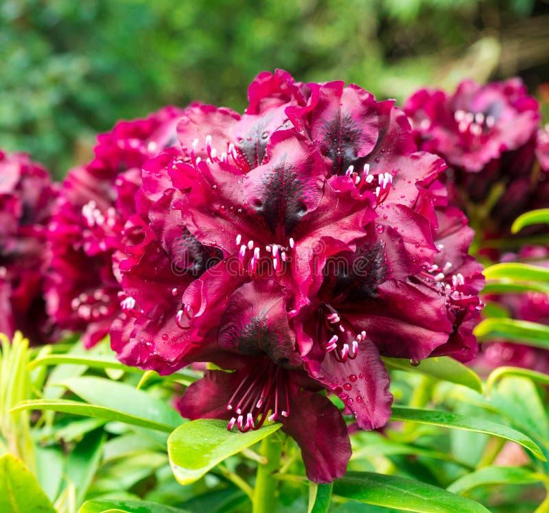 Zamyka up purpurowi azalia kwiaty zdjęcie royalty free