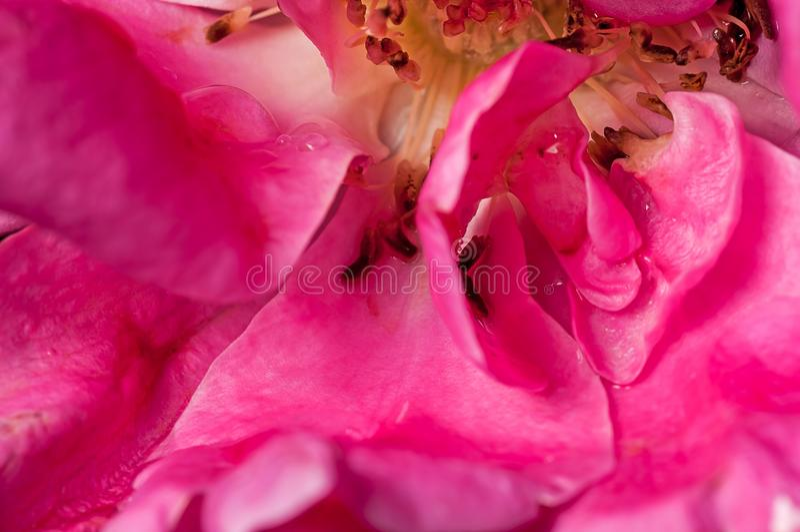 Zamyka up, róża, wody kropla na płatku, menchia, inside, abstrakt fotografia royalty free