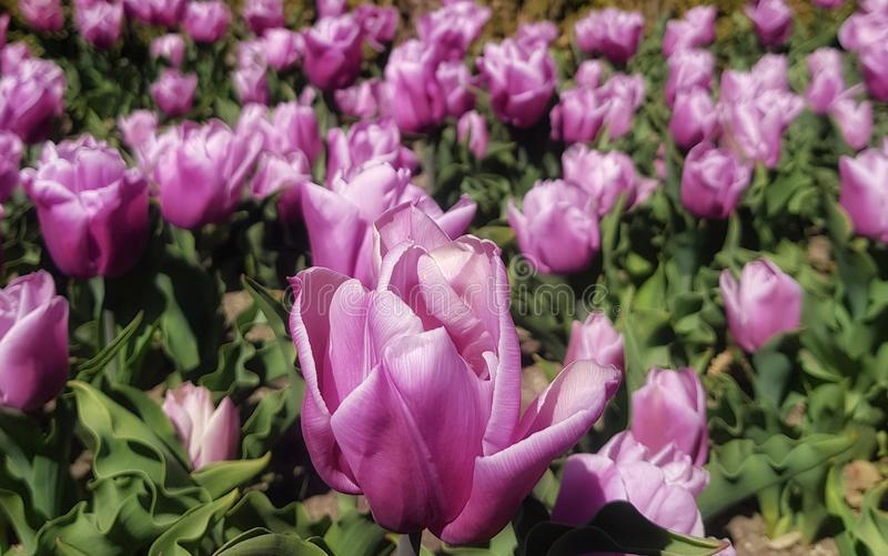 Zamyka up r??owy tulipan obraz royalty free