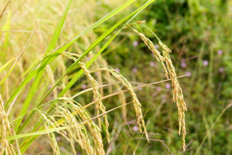 Zamyka Up Rice adra w polu z Zieloną trawą obrazy stock