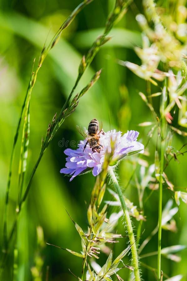 Zamyka up ruchliwie pszczoły zbieracki miód obrazy royalty free