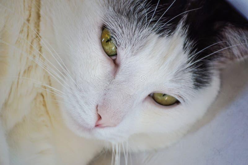 Download Zamyka Up Sypialnego Piękna Bielu Kot Obraz Stock - Obraz złożonej z migreny, kaganiec: 106903789