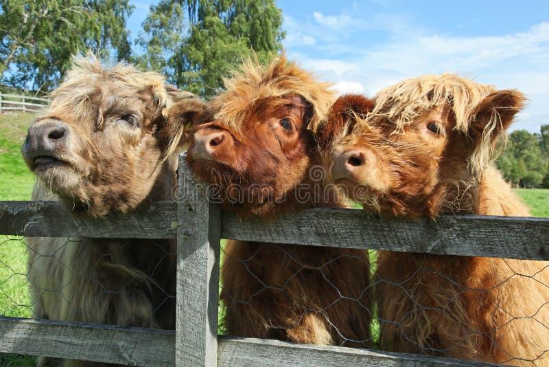 Zamyka up szkocka górska krowa w polu obrazy stock
