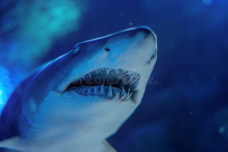 Zamyka up Wielki biały rekin podwodny obrazy stock