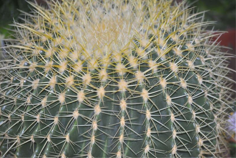Zamyka up Złoty Lufowy kaktus zdjęcie royalty free
