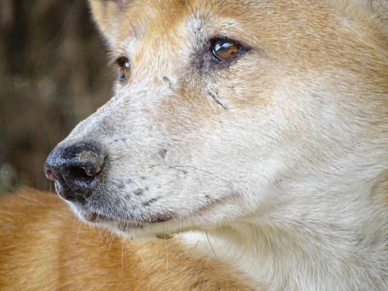 Zamyka up z psim dingo - zwierzę przy zoo fotografia stock