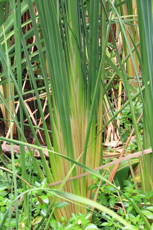 Zamyka up zielony papirus. obrazy royalty free