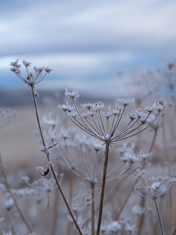 Zamyka W górę Śnieżnych Wysuszonych okwitnięć z niebieskim niebem w tle zdjęcie stock