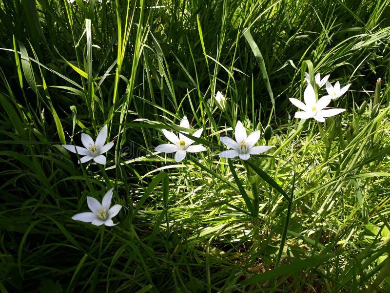 Zamyka w górę bielu deszczu lelui, Zephyranthes Candida kwiaty zdjęcie royalty free