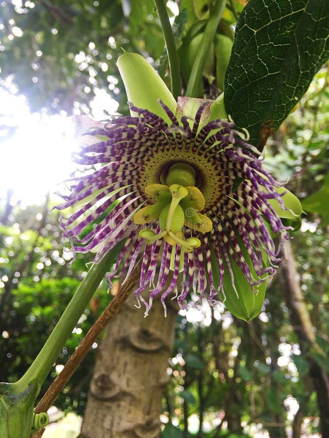 Zamyka W górę Dzikiego Purpurowego Passionflower w lesie obraz royalty free