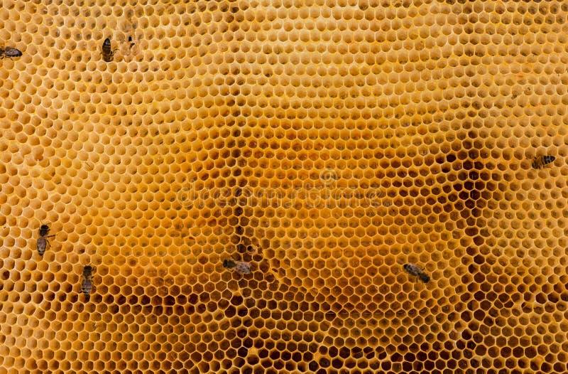 Zamyka w górę fotografii - rój pszczoły na złotym honeycomb nektar pełno Pszczoły nawracają nektar w honeycomb Kilka pszczół prac zdjęcie stock