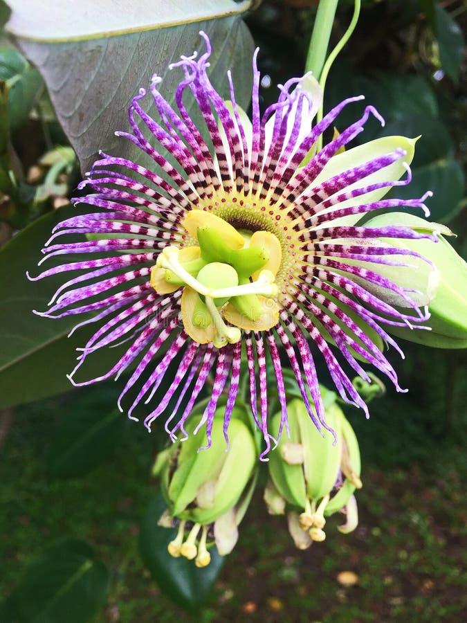 Zamyka w górę Kwitnącego Purpurowego Passionflower obraz royalty free