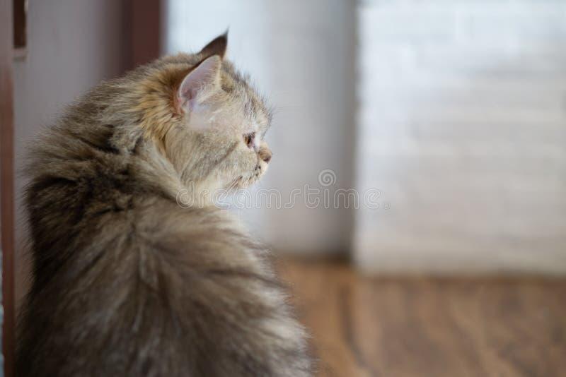 Zamyka w górę portreta ślicznego kota obsiadanie obok drzwiowy patrzeć someone i czekać na pusta przestrzeń dla twój teksta zdjęcie stock