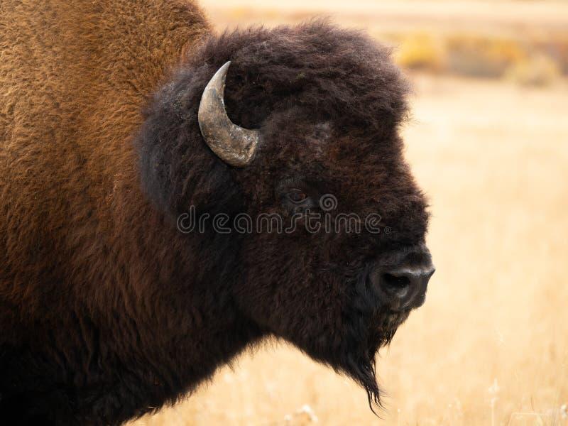 Zamyka W górę szyi byka żubra kręcenie i głowy Patrzeć kamerę fotografia stock