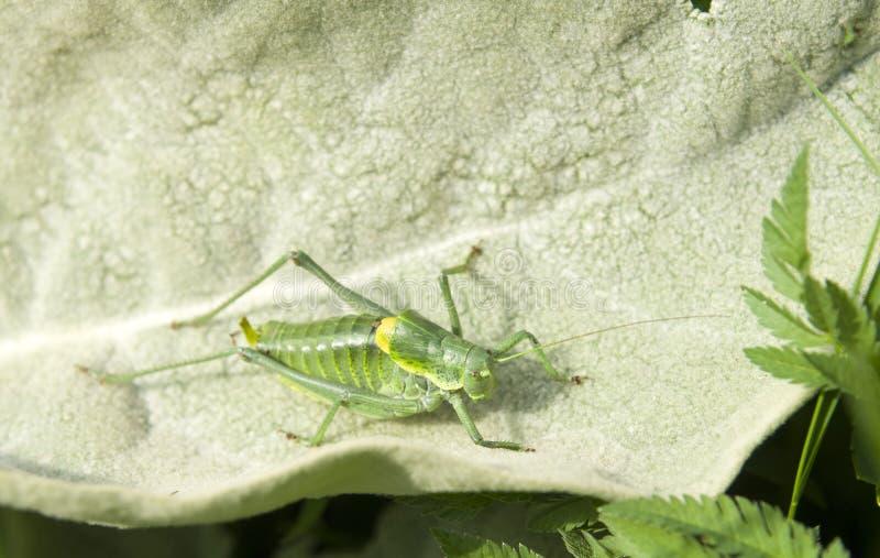 Zamyka w górę Wielkiego Zielonego krykieta Tettigonia viridissima insekta obrazy stock