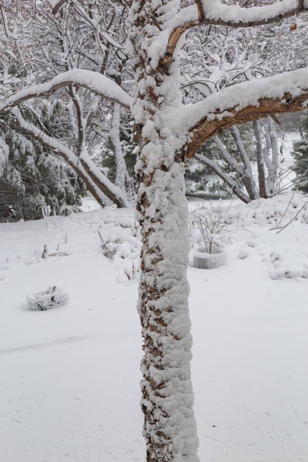 Zamyka w górę świeżego śnieżnego narzutu drzewnego bagażnika i gałąź fotografia stock