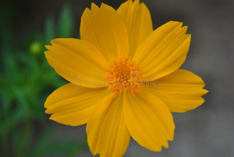 Zamyka w górę żółtego kosmosu kwiatu fotografia stock