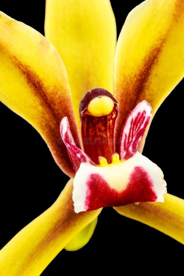 Zamyka w górę żółtej orchidei zdjęcie stock