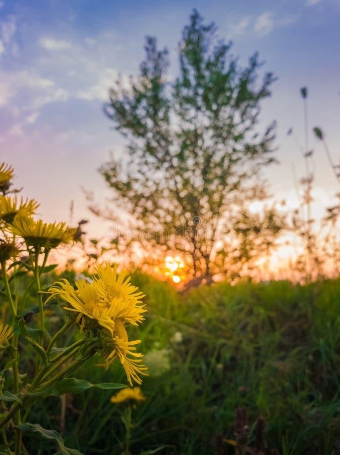 Zamyka w górę żółtych wildflowers kwitnie na łące nad zmierzchu nieba tłem Złoci Crownbeard lub Verbesina encelioides zdjęcie royalty free