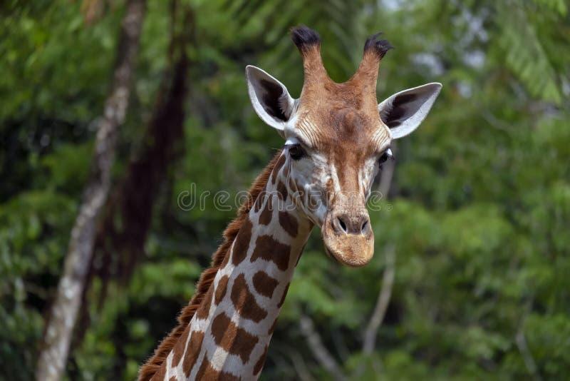 ZAMYKA W GÓRĘ żyrafy głowy Z ZIELONYM tłem obraz royalty free