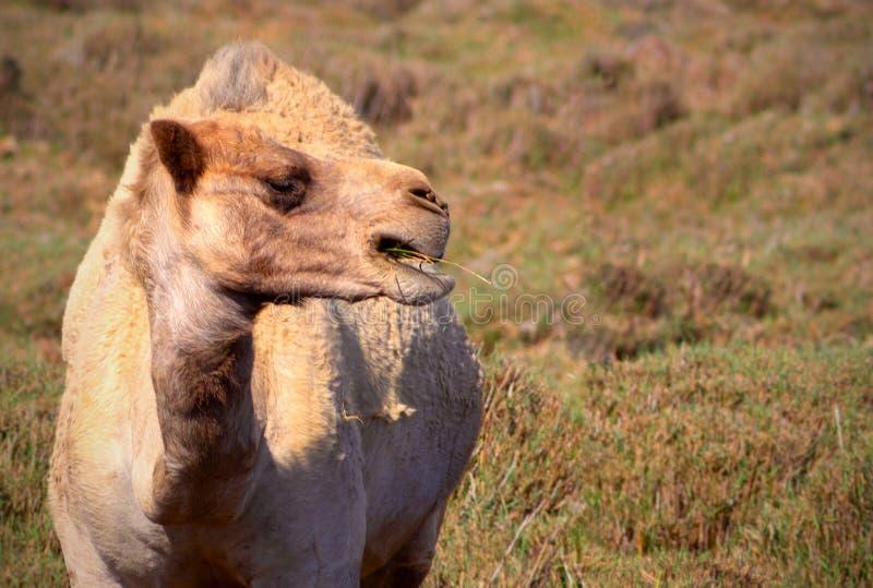 Zamyka w górę afrykańskiego wielbłąda na trawie zdjęcie stock