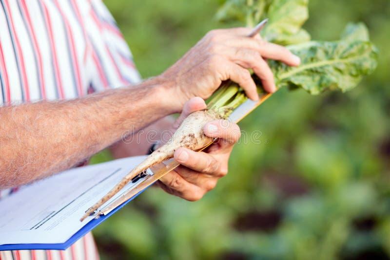 Zamyka w górę agronoma lub średniorolnych pomiarowych sugarbeet korzeni z władcą i pisać w kwestionariusz dane zdjęcie stock