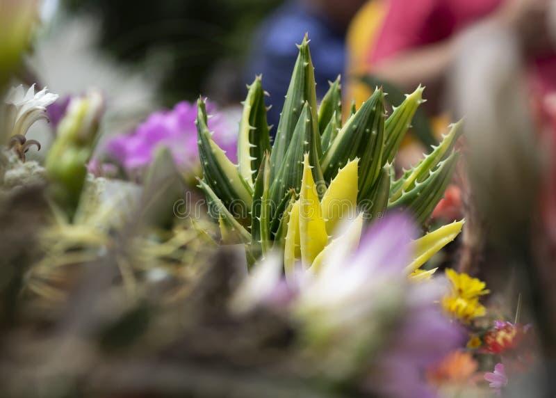 Zamyka w górę aloesu w połówce obrazek, przedpole rozbraja Ja mięsistych liście z cierniami na ich krawędziach Harmonia zieleń zdjęcie royalty free