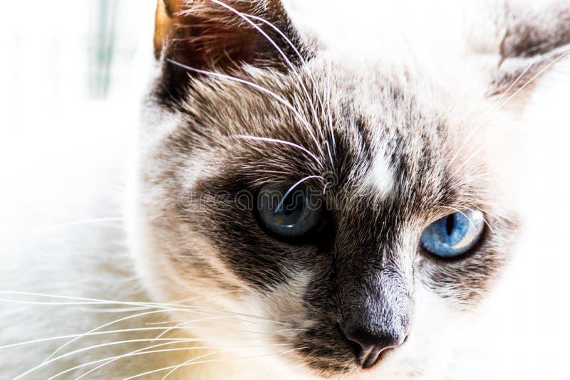 Zamyka W górę błękit Przyglądającego się kota zdjęcia royalty free