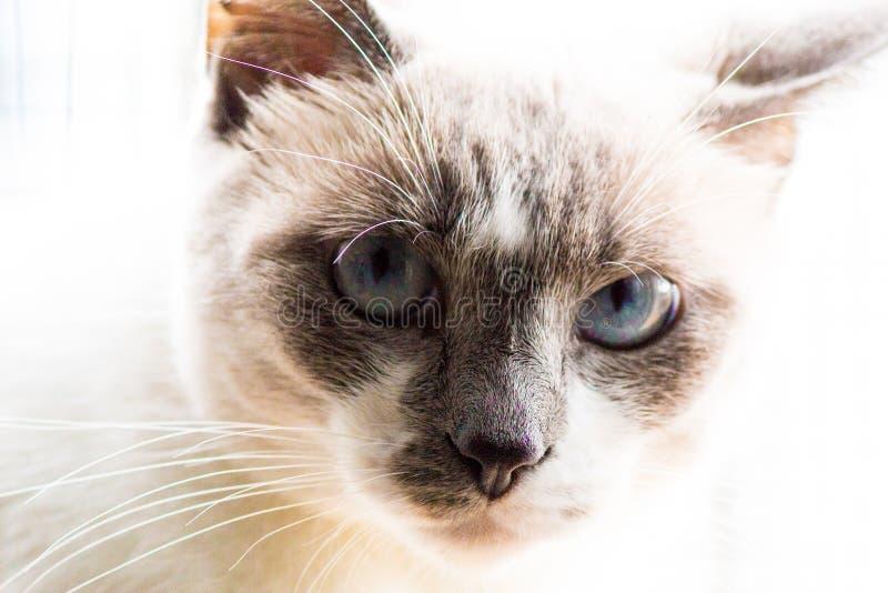 Zamyka W górę błękit Przyglądającego się kota obraz royalty free
