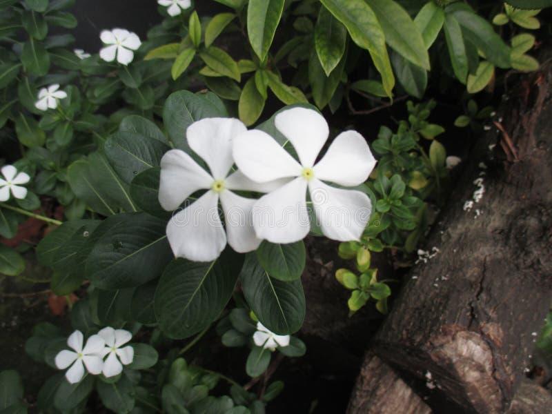 Zamyka W górę Białego kwiatu barwinka zdjęcia stock