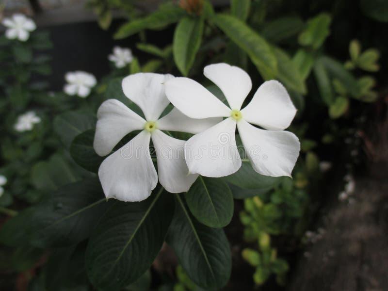 Zamyka W górę Białego kwiatu barwinka obraz stock