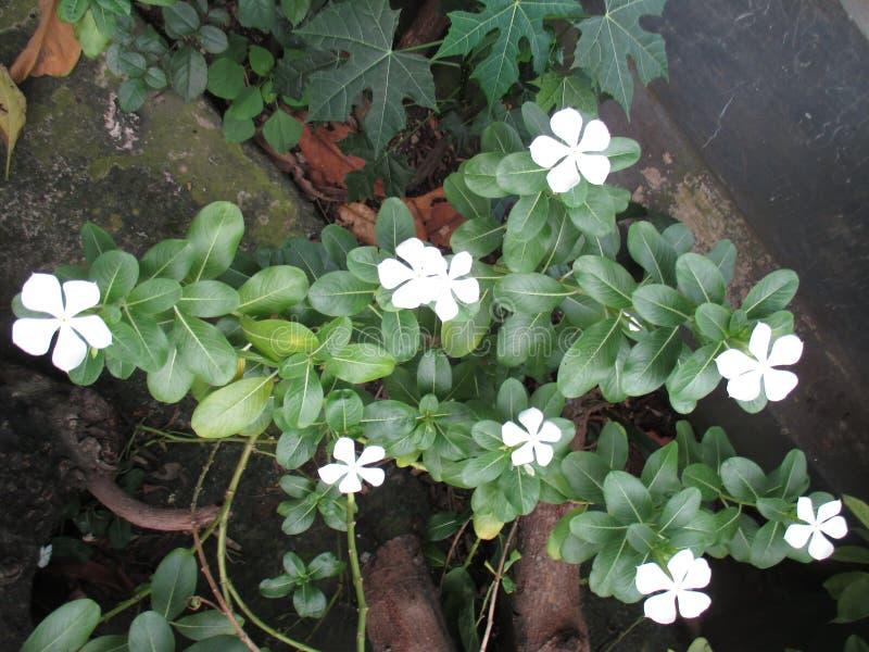 Zamyka W górę Białego kwiatu barwinka zdjęcie royalty free