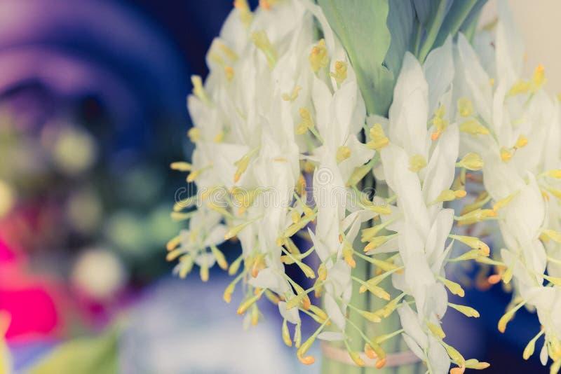 Zamyka w górę białego kwiatu globba drzewo pl lub taniec dam imbir zdjęcia royalty free