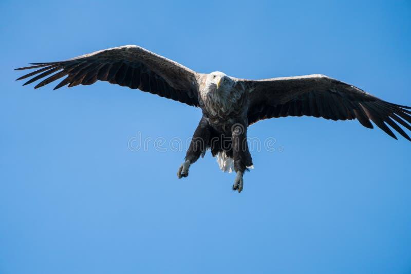 Zamyka w górę Białego Ogoniastego Dennego Eagle Haliaeetus albicilla w locie obraz stock