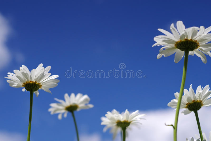 Zamyka w górę białej stokrotki chamomile kwiatów zdjęcia royalty free