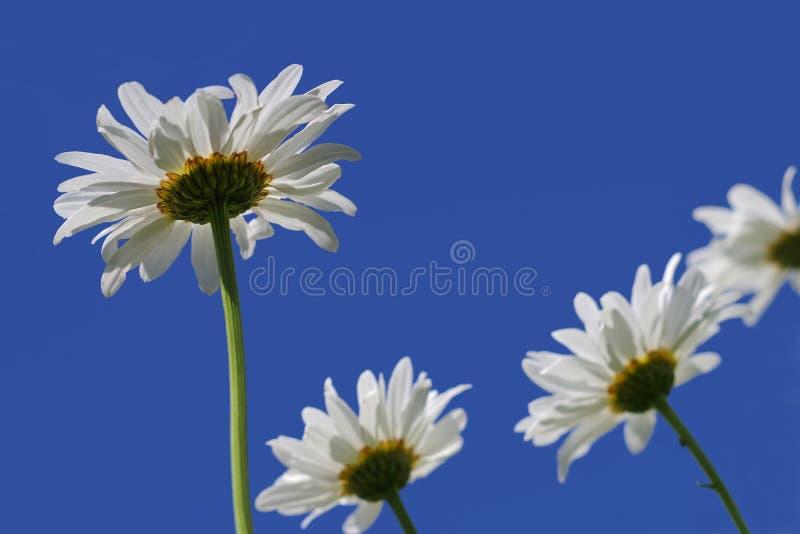Zamyka w górę białej stokrotki kwiatów zdjęcie royalty free