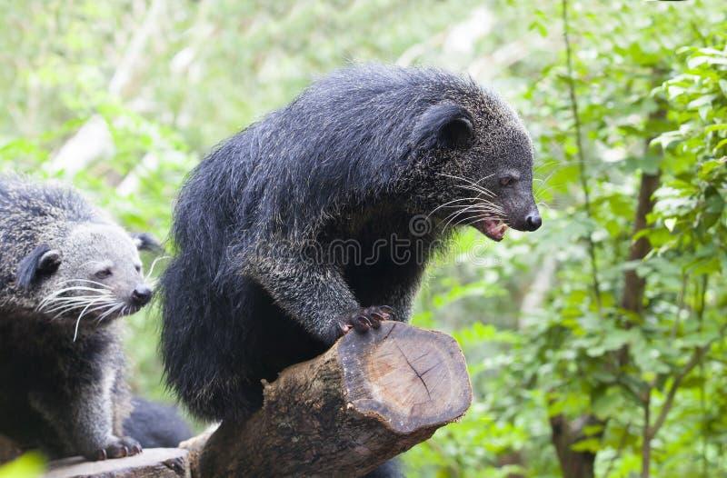 Zamyka w górę binturong w naturze dzikiej obraz stock