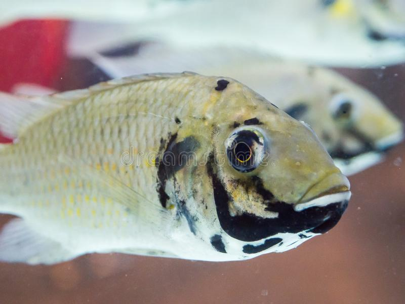 Zamyka w górę blackchin tilapia ryba Sarotherodon melanotheron dopłynięcia w rybim zbiorniku, jest afryka zachodnia gatunki cichl zdjęcia royalty free