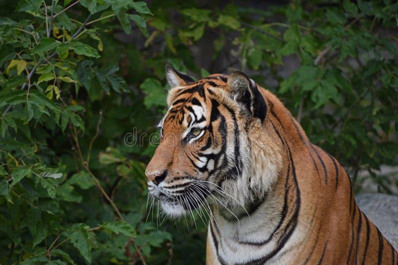 Zamyka w górę bocznego portreta Indochinese tygrys obrazy royalty free