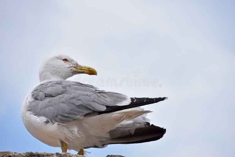Zamyka w górę bocznego portreta jeden duży seagull na skale obrazy stock