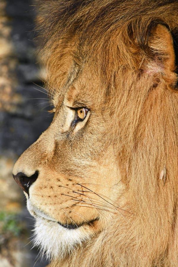 Zamyka w górę bocznego portreta męski Afrykański lew fotografia royalty free